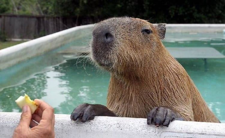 Capybara temperature in pool