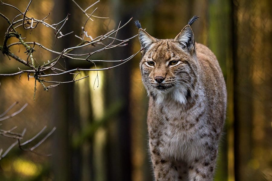 Lynxes As Pets - Everything You Need To Know