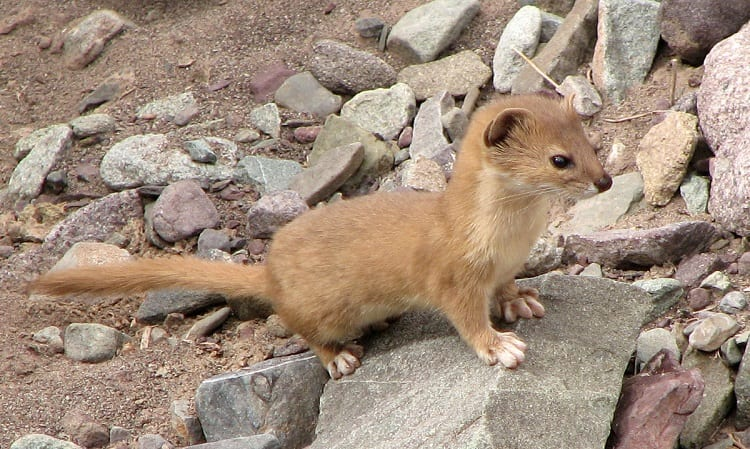 Mountain Weasel Mustela altaica