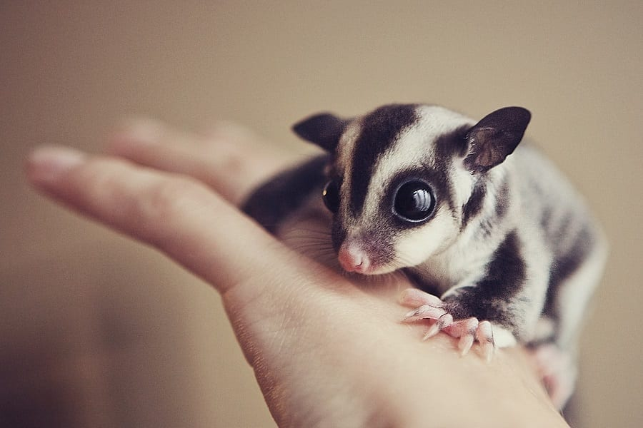 Sugar Gliders As Pets - Everything You Need To Know 1