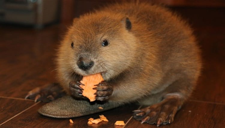 beaver eating cracker