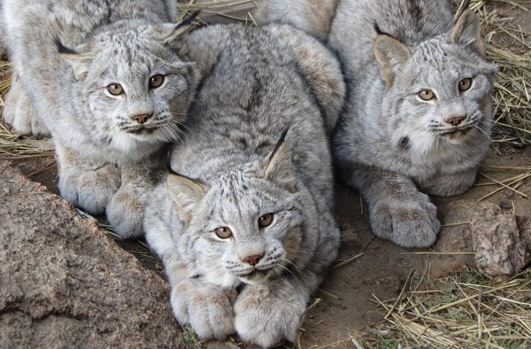 three canadian lynx cubs