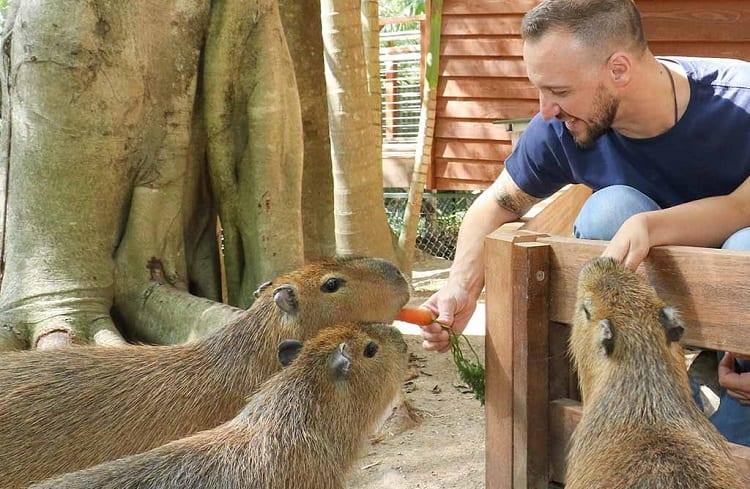 man feeding capybaras with carrots