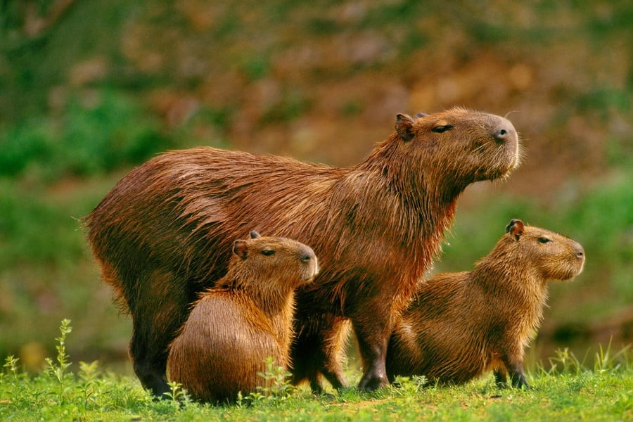 Capybaras As Pets_ Everything You Need To Know
