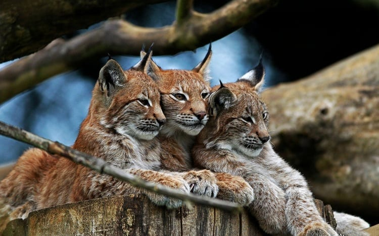 three eurasian lynx