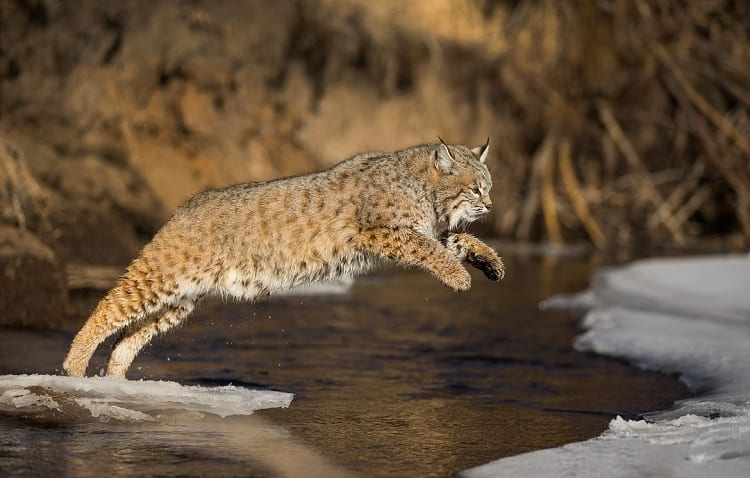 bobcat jumps over water