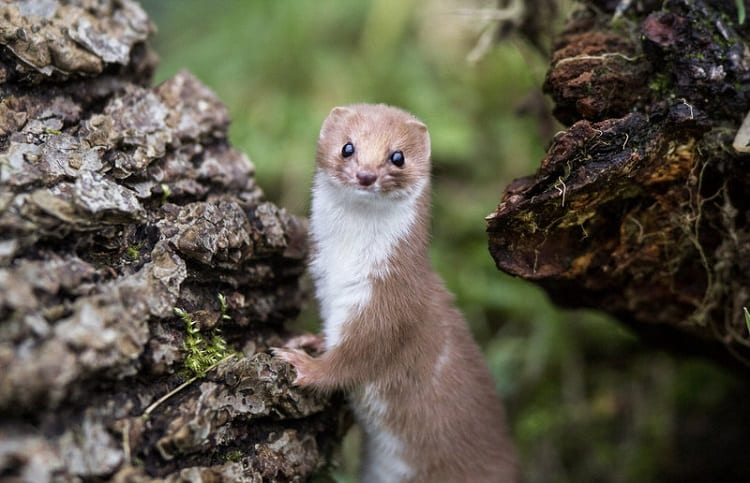weasel in the pine tree