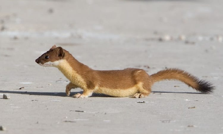 long tailed weasel mustela frenata