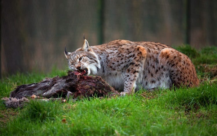 lynx eating their prey