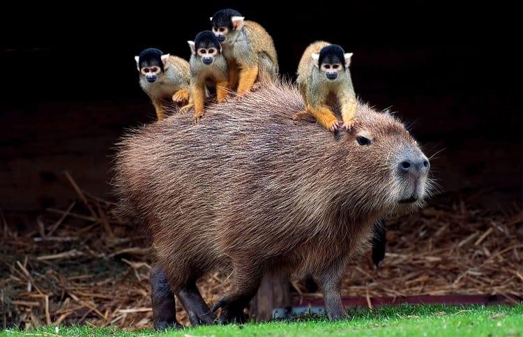 capybara and monkeys