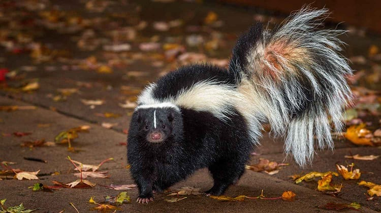 skunk as a pet
