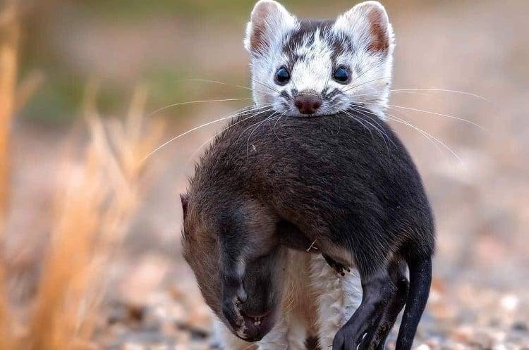weasel with rodent