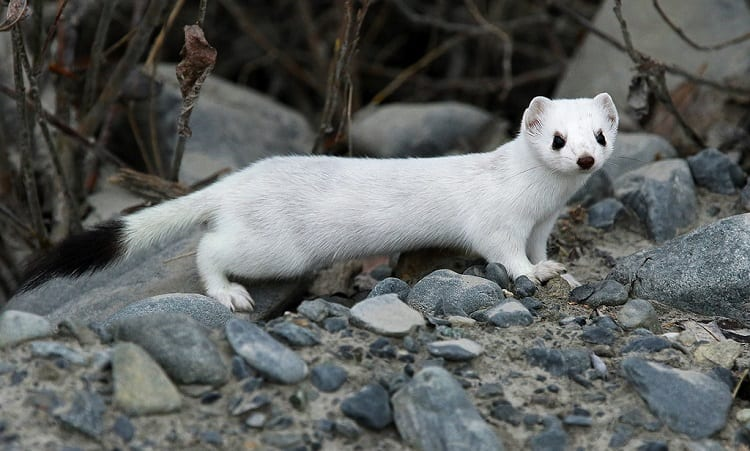 white short tailed weasel