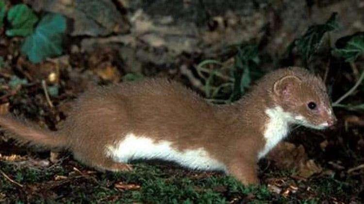 tropical weasel mustela africana