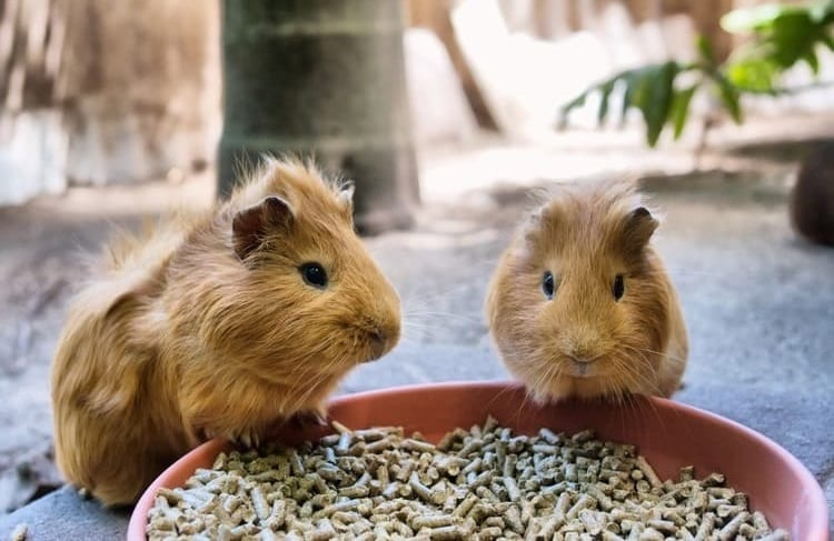 pellet food for guinea pigs