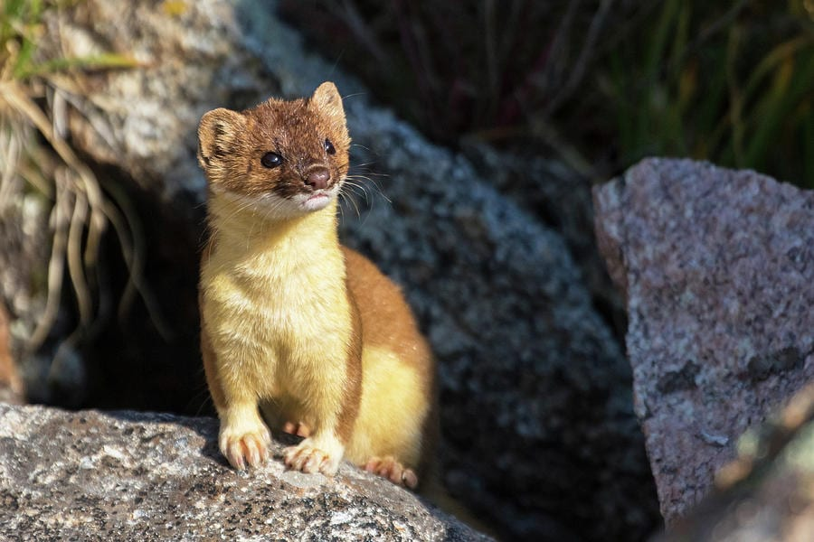 Weasels As Pets- Everything You Need To Know