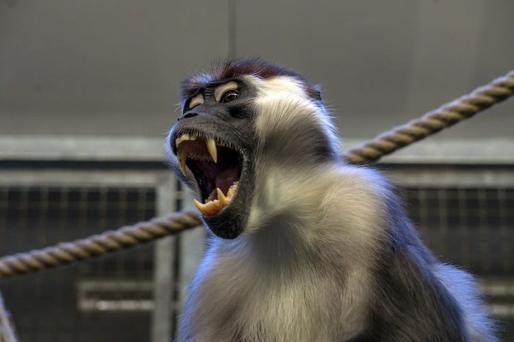Monkey Yelling