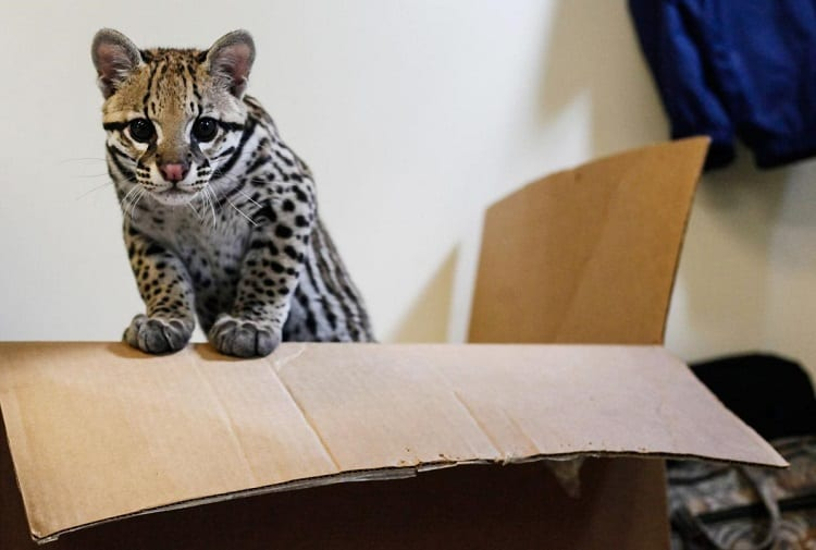 Ocelot In The Box