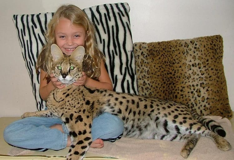 Young Girl with Serval