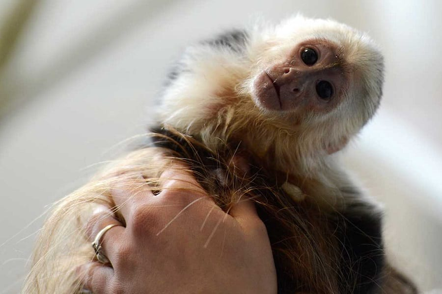 Monkeys As Pets: Everything You Need To Know