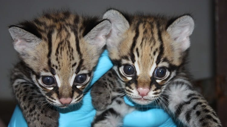 Ocelots In Hands