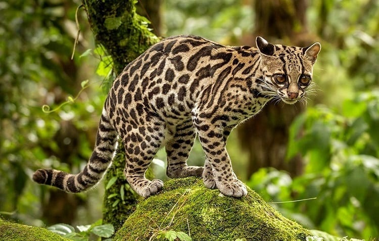Margay Standing On Stone