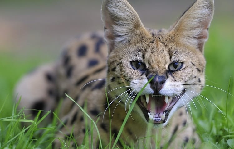 Angry Serval Cat
