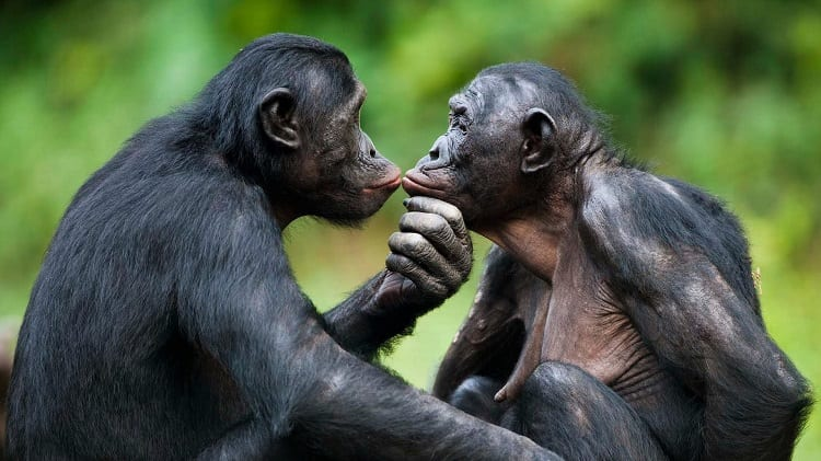 Male And Female Chimp Kissing