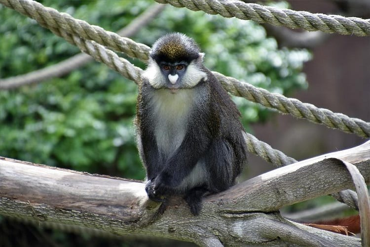 Guenon Posing