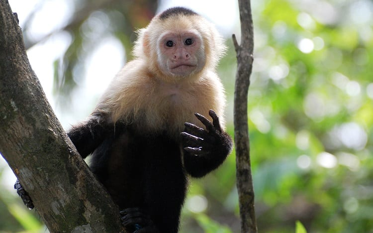 Capuchin on Branch