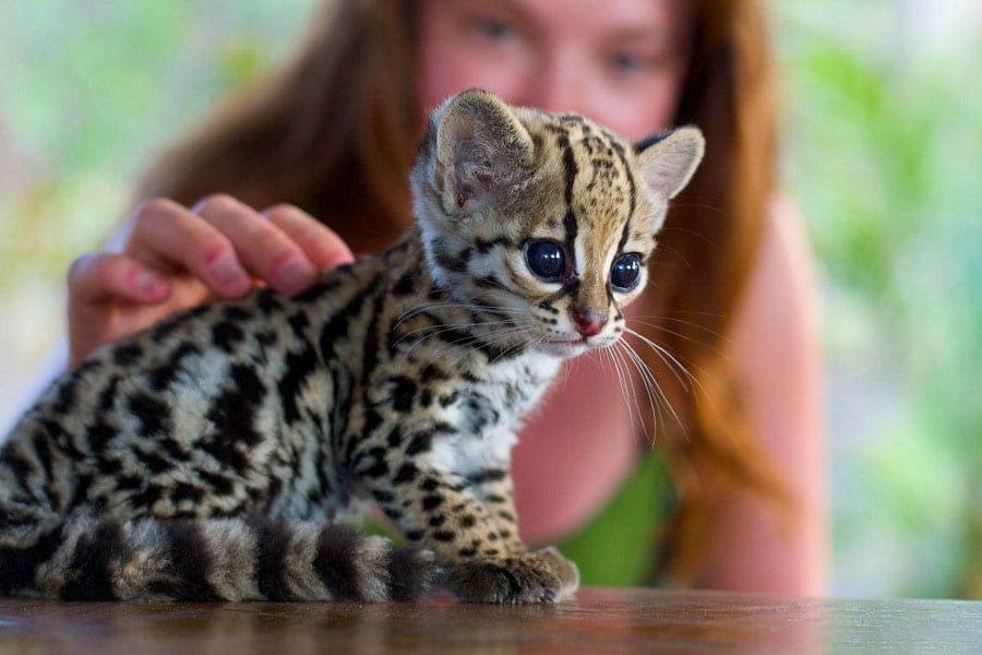 Ocelots As Pets: Everything You Need To Know