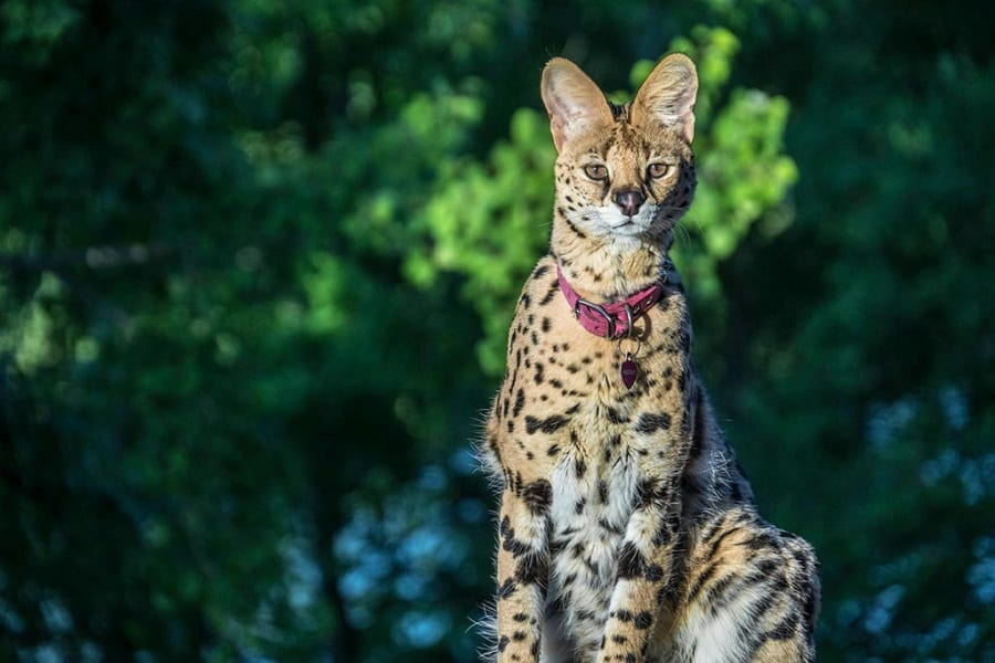 Servals As Pets: Everything You Need To Know