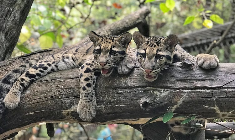 Grown Up Ocelots
