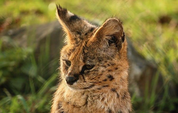 Serval Cat Ears