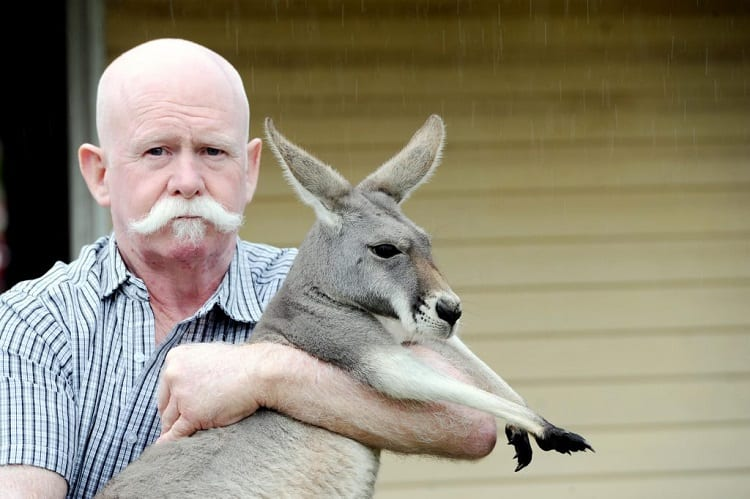 kangaroo as pet