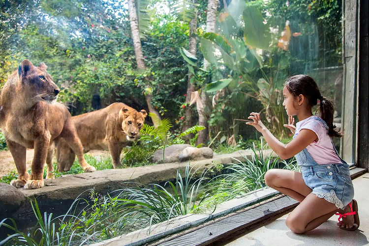 Girl Looking On Lions