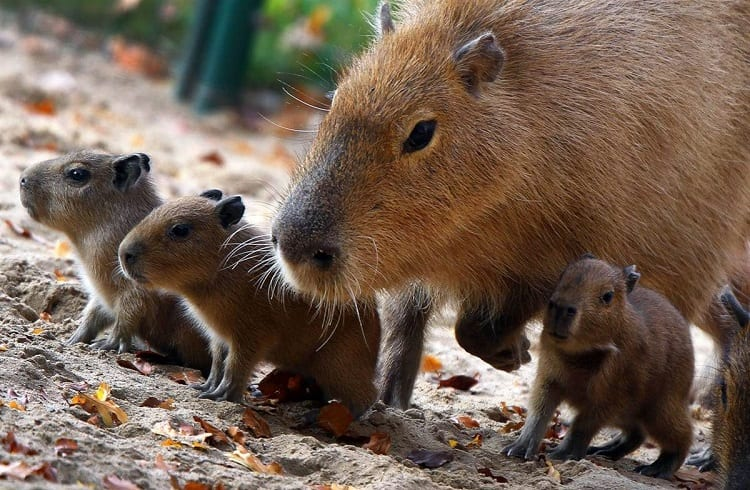 Mother and Baby Capybaras