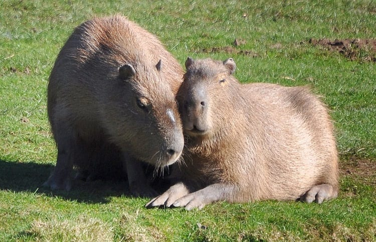 Capybara Couple