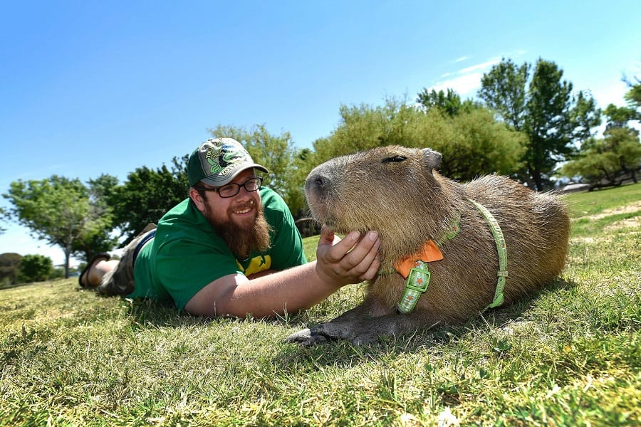 Capybaras As Pets - Everything You Need To Know