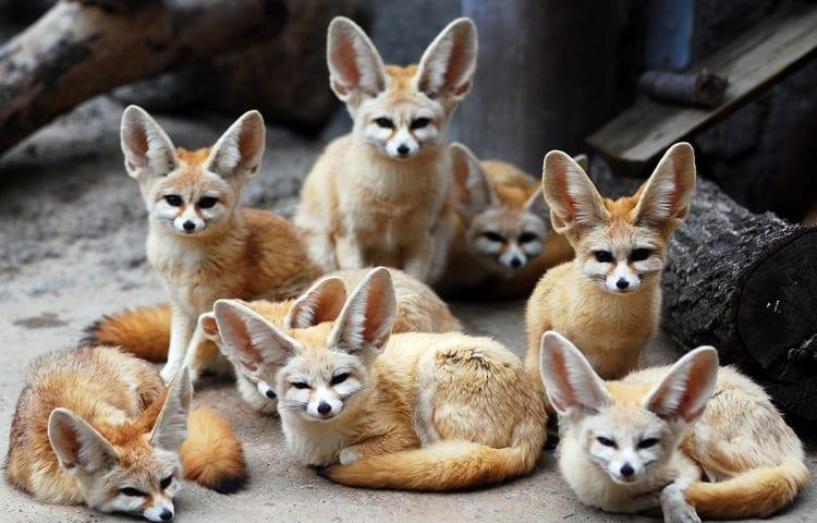 Fennie Foxes