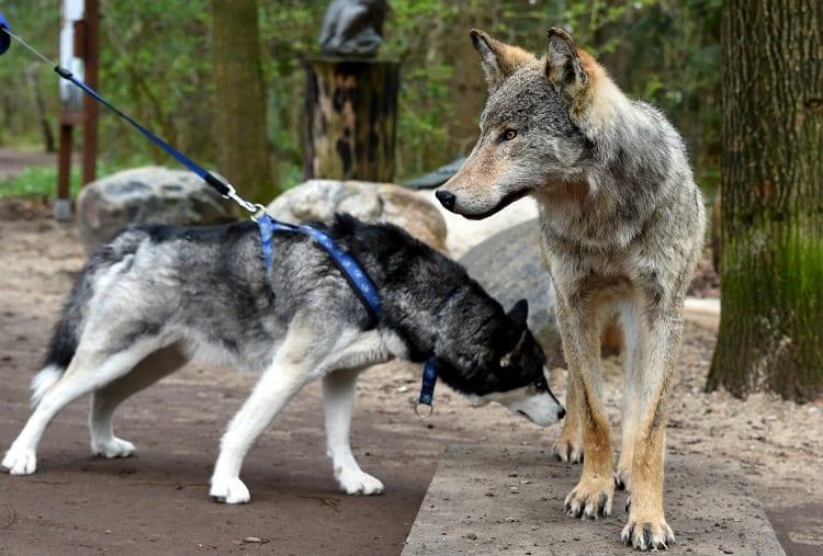 Huskey Vs Real Wolf