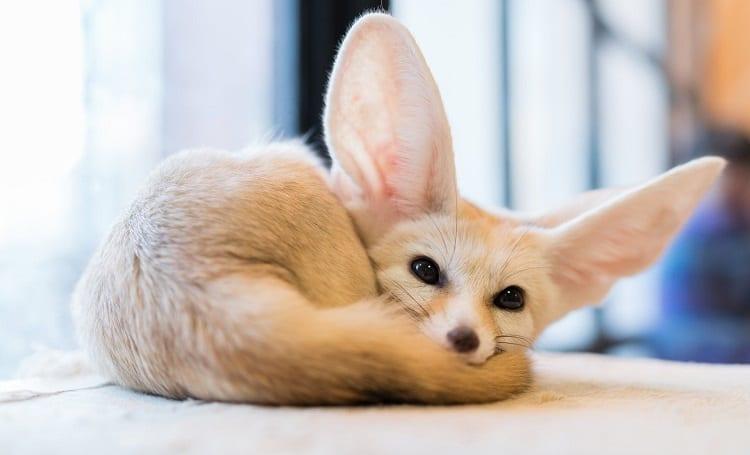 Fox Pet