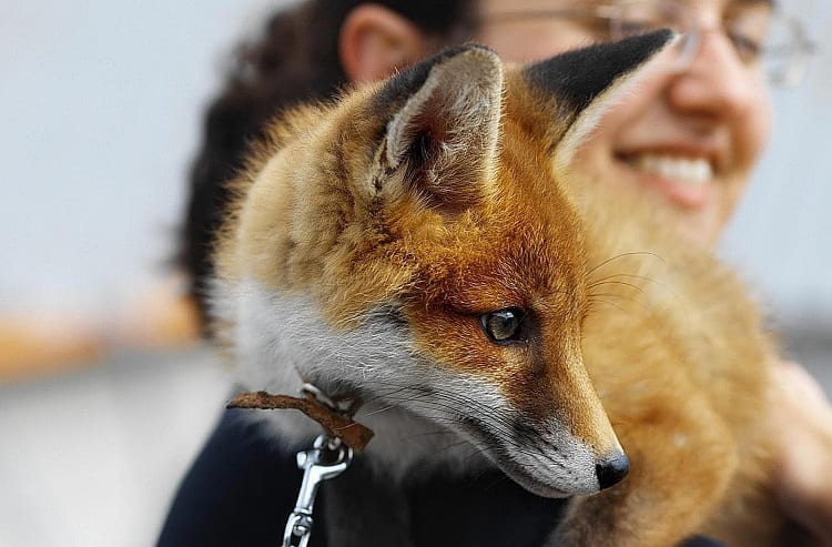 Woman Carrying Fox