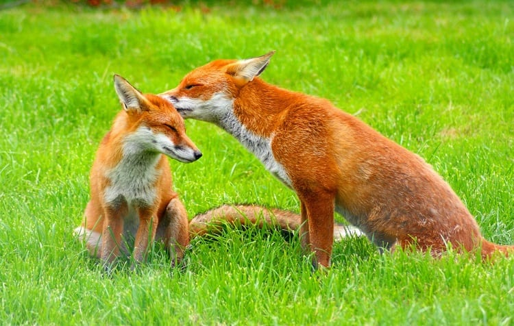 Couple of Foxes