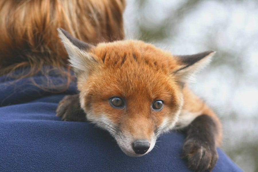 Foxes As Pets - Everything You Need To Know