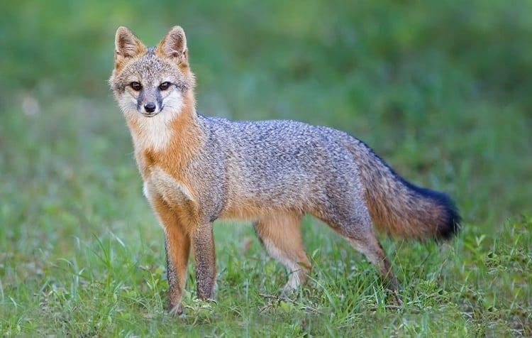Silver Grey Fox
