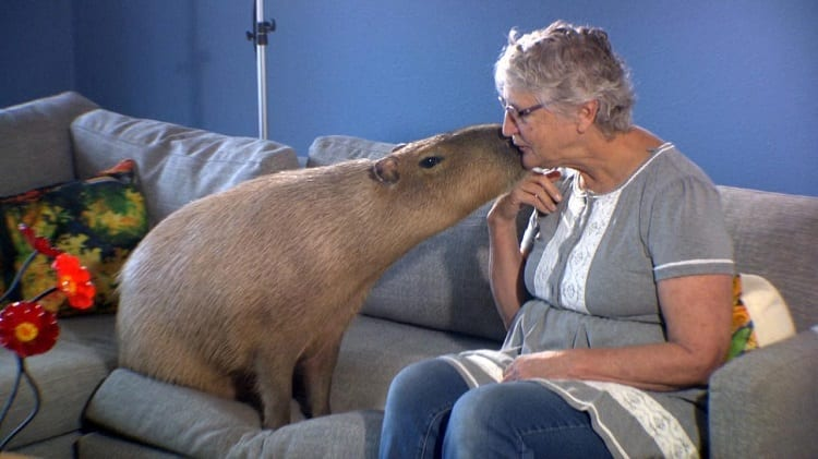 Owner Kissing Her Capybara