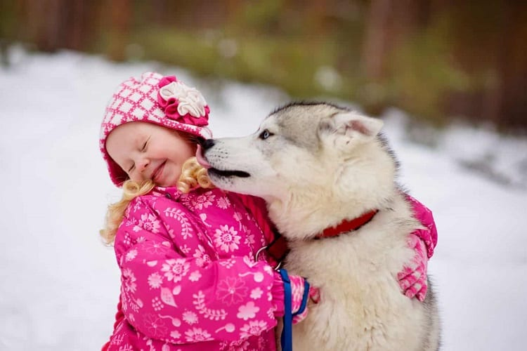 Wolf Dog Kissing A Child Girl