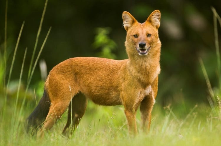 Dhole In Grass