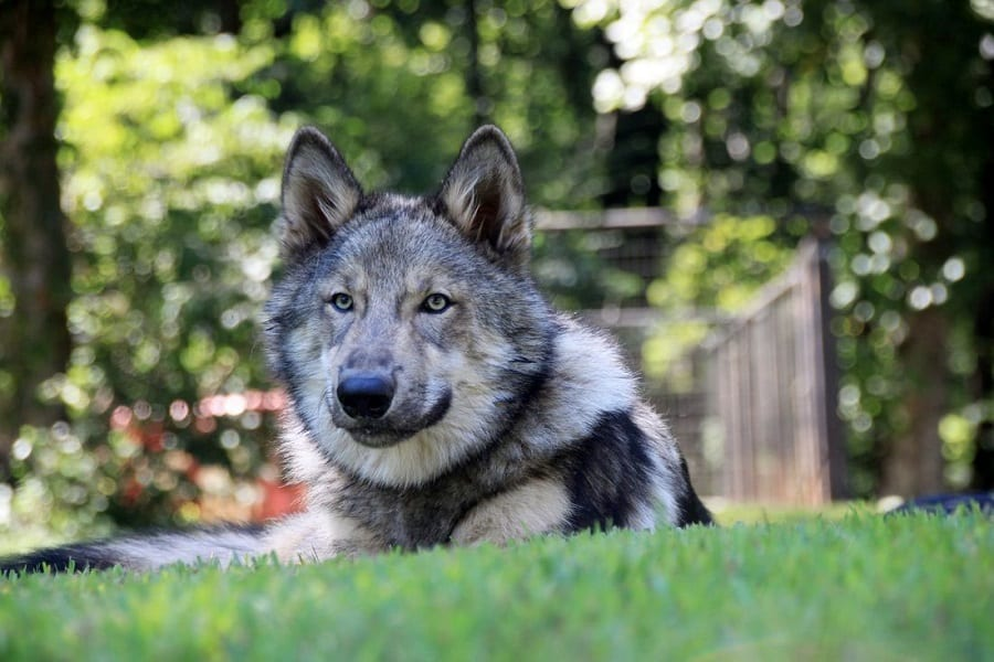 Wolf Dog Hybrids - Are They Legal?